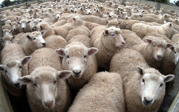 Crowds, Sheep